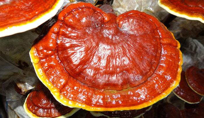 خواص قارچ گانودرما یا ریشی