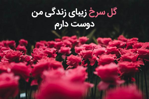 متن گل رز سرخ عاشقانه