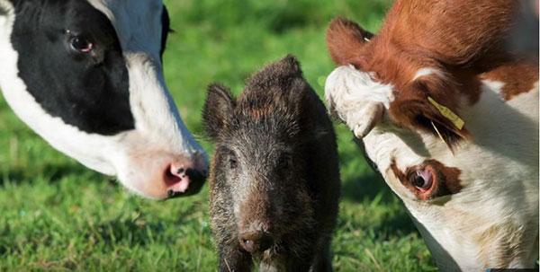 گله گاو ها و جوآنا توله گراز وحشی