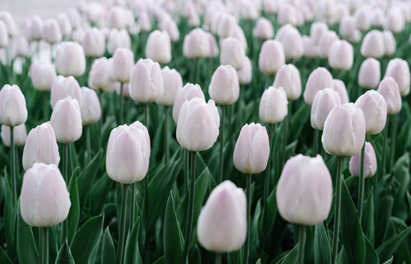 گل لاله سفید رنگ