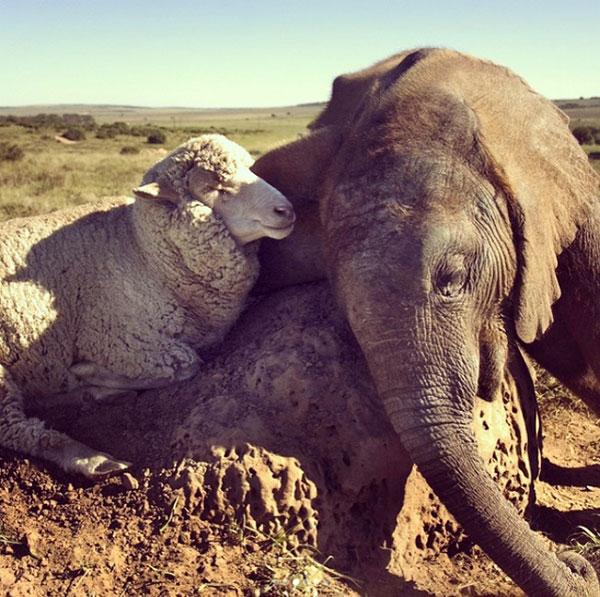 آلبرت گوسفند و تمبا فیل