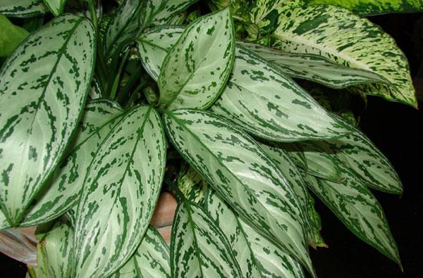 گیاه همیشه سبز چینی