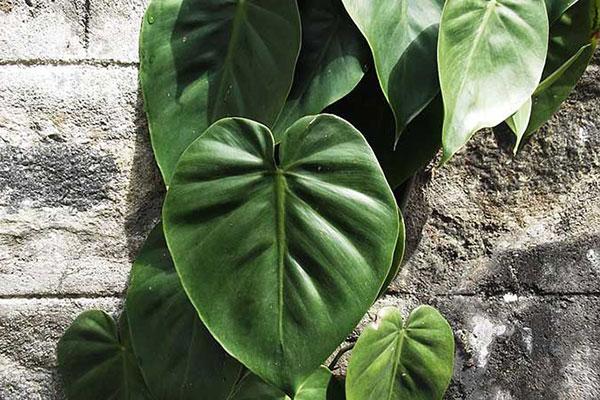 گل شیپوری پیچی آمریکایی