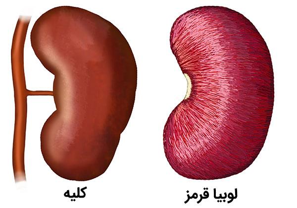 شباهت ظاهری لوبیا قرمز و کلیه انسان , Kidney bean