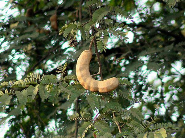 عکس درخت تمر هندی