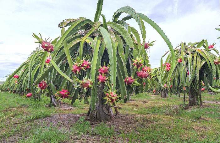 عکس درخت دراگون فروت