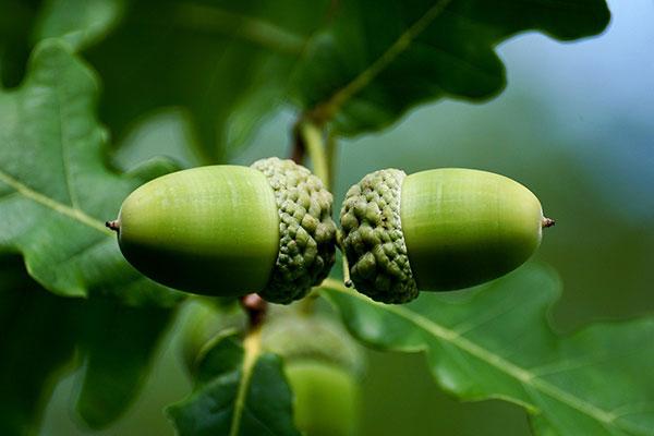 عکس میوه درخت بلوط