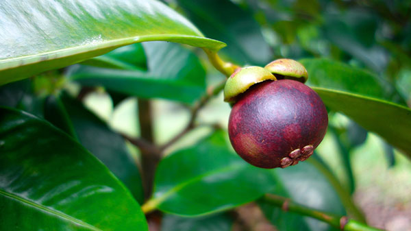 عکس درخت میوه منگوستین
