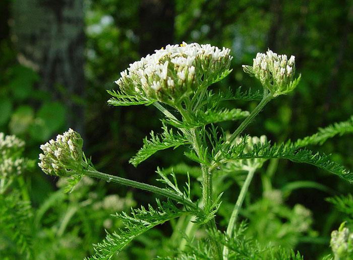 عکس گیاه بومادران با گل های سفید