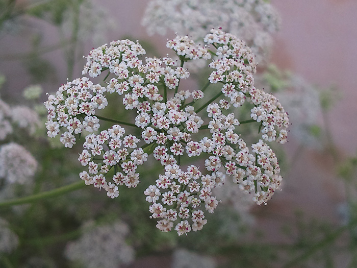عکس گل زنیان