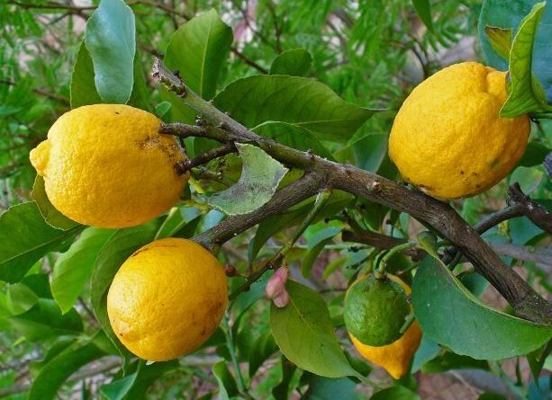 خواص میوه بالنگ