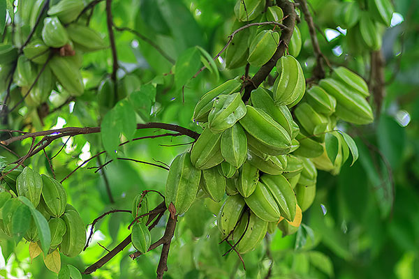 عکس میوه های سبز درخت کارامبولا یا استار فروت