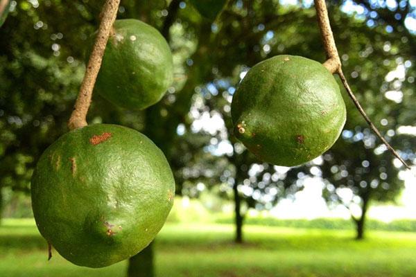 عکس میوه درخت ماکادمیا