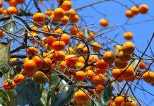 نحوه کاشت هسته درخت خرمالو در گلدان و باغچه
