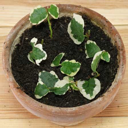 گیاه انجیر چسب
