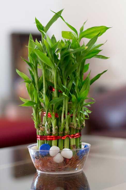 گیاه سایه دوست بامبو