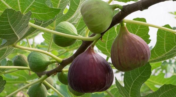 عکس میوه های درخت انجیر