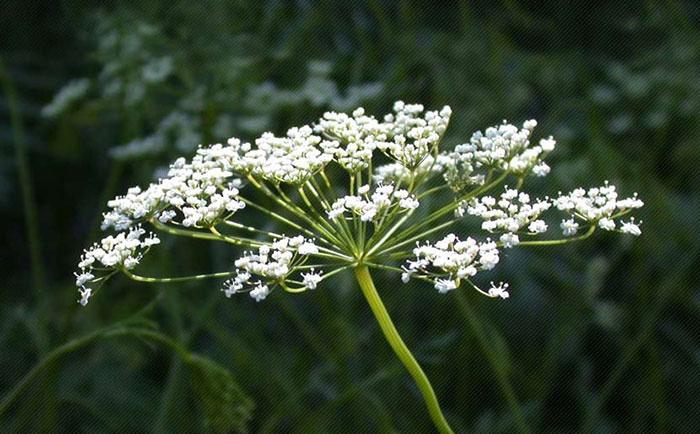 عکس گل های سفید انیسون