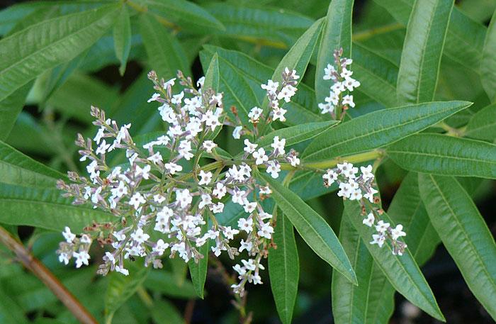 عکس گیاه به لیمو و گل های سفید رنگش