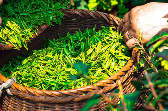 تفاوت و عکس انواع مختلف چای