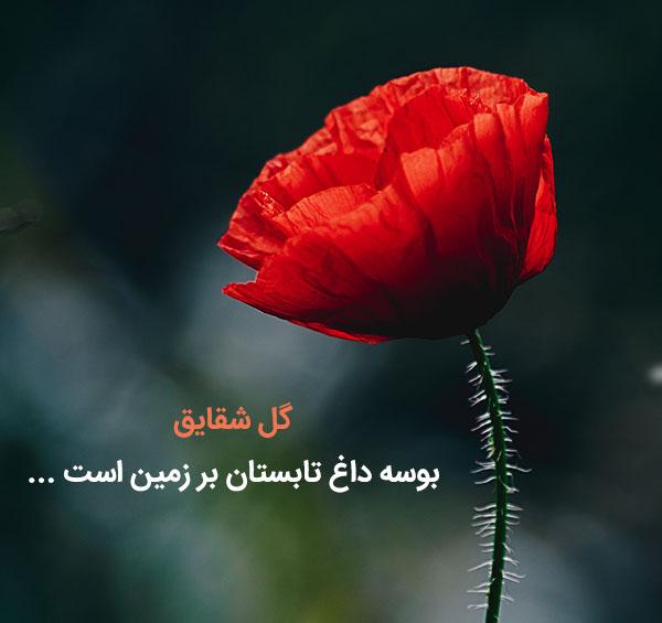 جملات زیبا درباره گل های شقایق