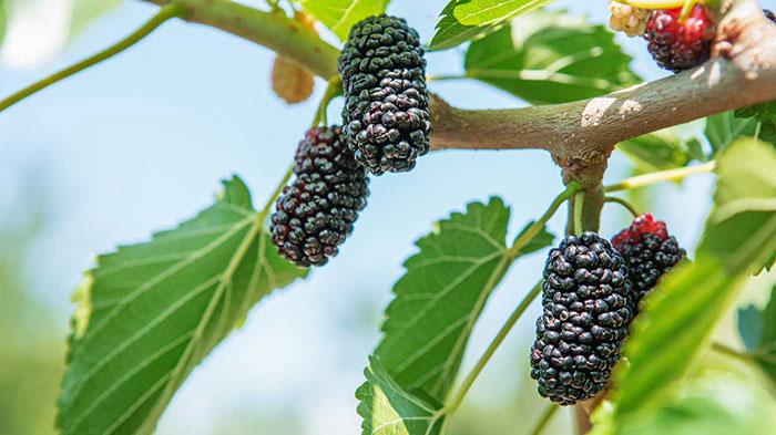 خواص توت سیاه در طب سنتی