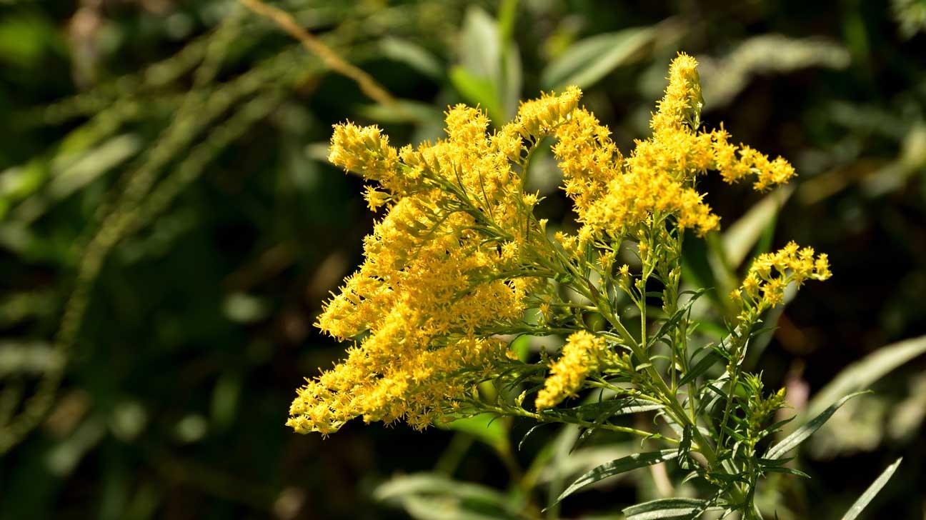 خواص و عکس گیاه علف طلایی