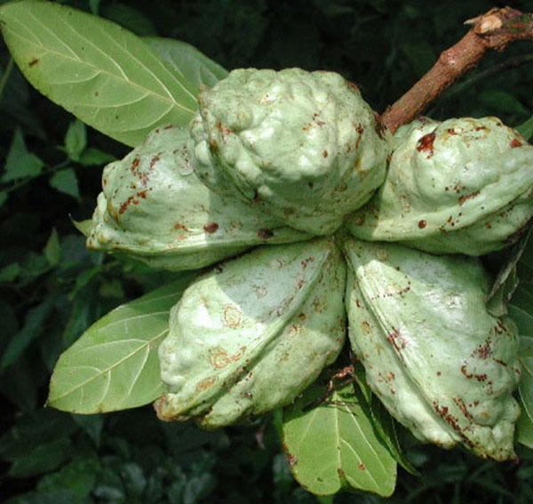 عکس میوه درخت کولا