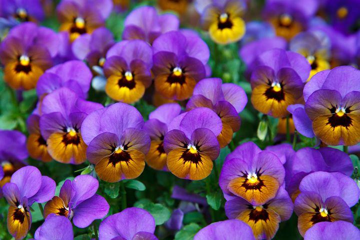 شعر کوتاه در مورد گل بنفشه