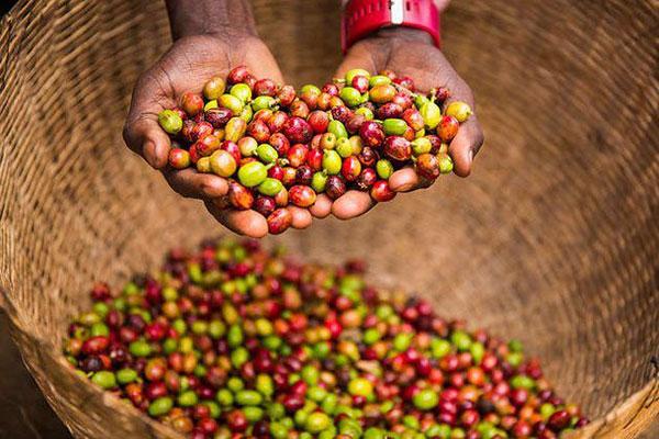 روش تولید قهوه اتیوپی