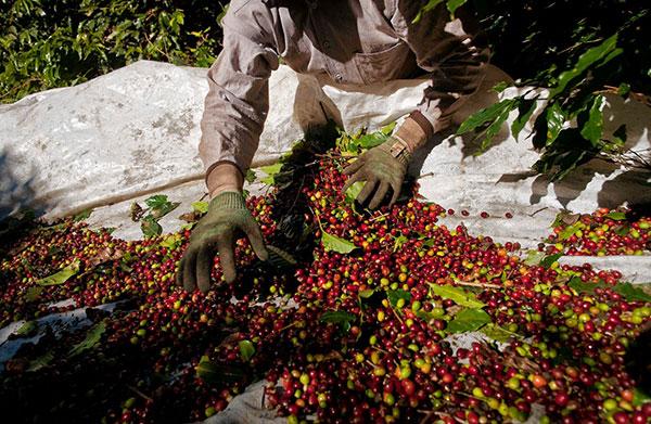 روش تولید قهوه برزیل