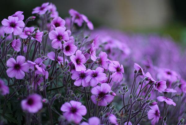 متن زیبا و کوتاه درباره گل بنفشه