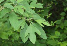 عکس برگ درخت ساسافراس
