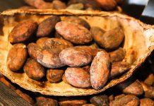 عکس دانه های میوه درخت کاکائو