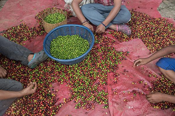 روش تولید قهوه مکزیک