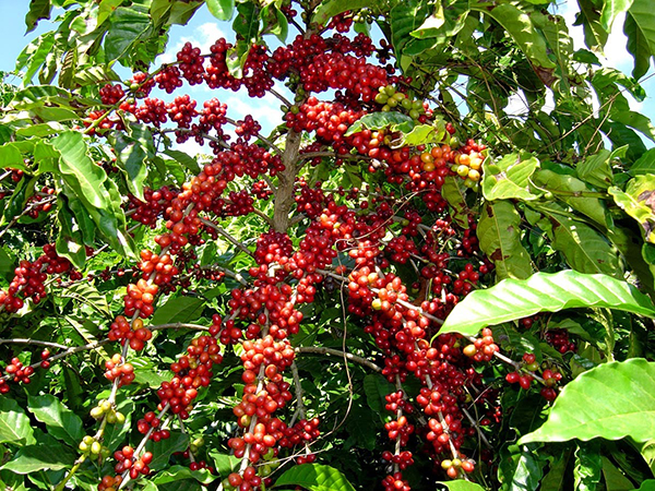 روش تولید قهوه ویتنام