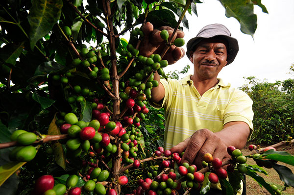 روش تولید و پردازش قهوه کلمبیا