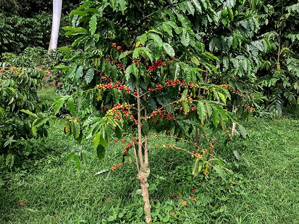 عکس درخت قهوه