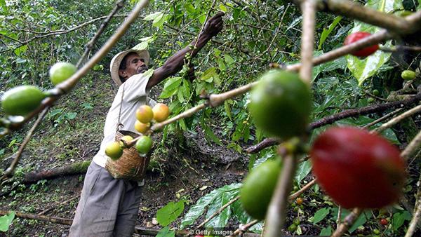 روش تولید قهوه هندی