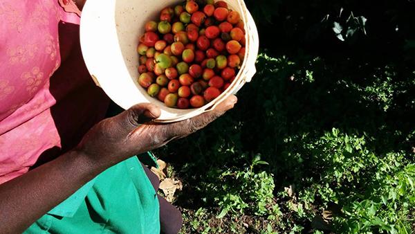 روش تولید قهوه کنیا