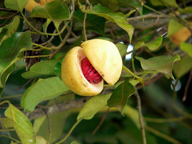 عکس میوه درخت جوز هندی