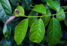 عکس گیاه گایوسا
