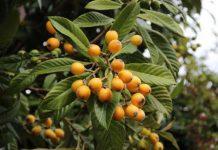 عکس درخت ازگیل ژاپنی