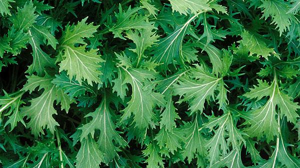 عکس گیاه خردل ژاپنی