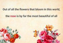 متن انگلیسی درباره گل رز