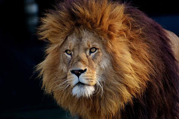 تحقیق شیر سلطان جنگل