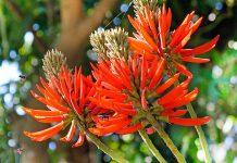 عکس گیاه مالونگو