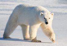 چرا موهای خرس قطبی توخالی هستند؟