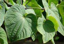 عکس گیاه کاوا کاوا