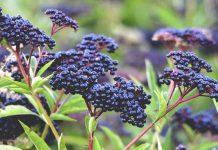 خواص دمنوش و گیاه آقطی سیاه